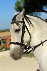 Cavallo con le briglie