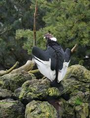 grand condor des andes