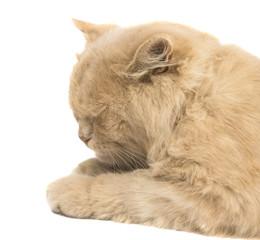 sleeping cat isolated