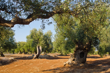 Mediterranean olive field with old olive tree