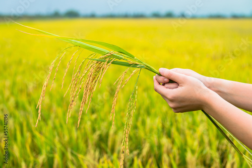 rice field, focus on the rice straws in hands