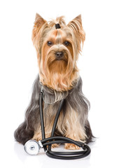 Yorkshire Terrier with a stethoscope on his neck. isolated