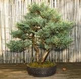 garten balkon bonsai stockfotos und lizenzfreie bilder. Black Bedroom Furniture Sets. Home Design Ideas