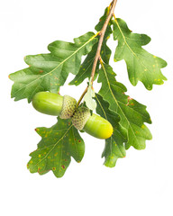 Zweig von Eiche mit Eicheln und Blättern