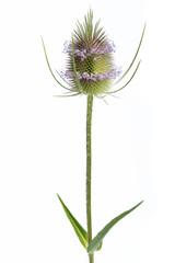 Wilde Karde (Dipsacus silvestris) - Einzelne Pflanze