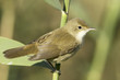 reed warbler close-up / Acrocephalus scirpaceus