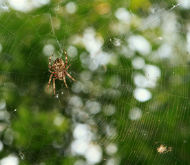 Spider on the web over green background