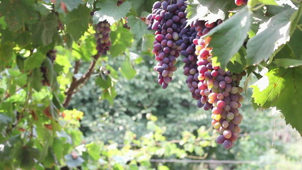 Pink grapes hanging on the vine, Ukraine.