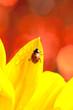 Marienkäfer auf einem blumenblatt