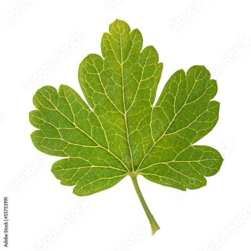 Green leaf of Gooseberry isolated on white