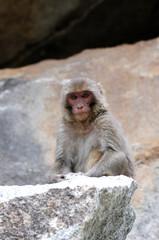 Tibetan monkey single