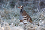 Red legged partridge, Alectoris rufa, In frost, Midlands, winter poster