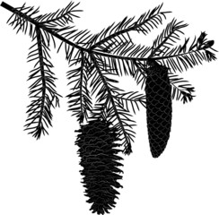 black fir branch with two cones on white