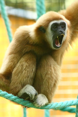 Lar gibbon shouting