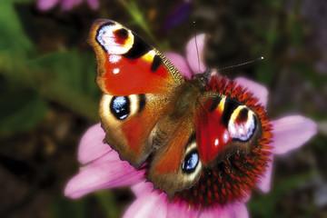 Schmetterling, Tagpfauenauge, Tagpfauenauge, Nahaufnahme