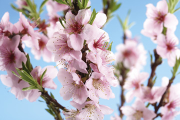 Nektarine Blumen, Prunus Nucipersica