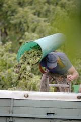 Mann schüttet Trauben auf LKW, bei der Weinernte