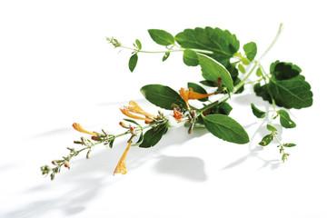 Lemonysop, mexikanisch Ysop, Agastache mexicana