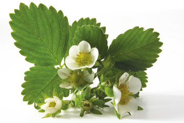 Erdbeer-Blüte