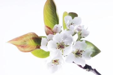 Birnenblüte, Nahaufnahme