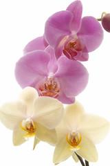 Orchid (Phalaenopsis) vor weißem Hintergrund, Nahaufnahme