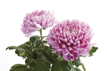 Chrysantheme (Chrysanthemum indicum), Nahaufnahme