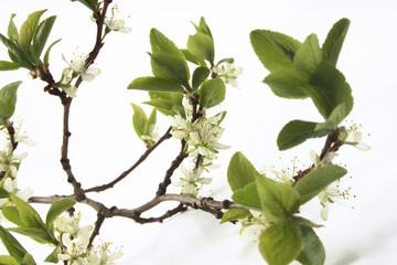 Pflaumenblüte, Nahaufnahme