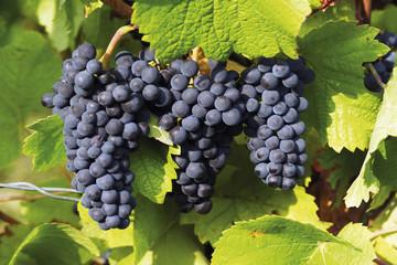 Blaue Weinrebe