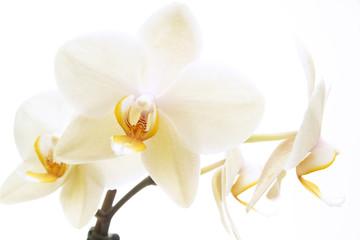 Weiße Orchidee (Phalaenopsis), Nahaufnahme