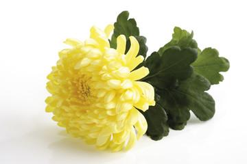 Gelbe Chrysantheme (Chrysanthemum indicum), Nahaufnahme