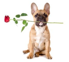 Französische Bulldogge mit Rose