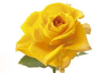 Gelbe Rose, floribunda, Nahaufnahme