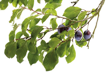Bio Pflaumen auf Zweig
