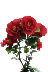 Camellia, (Camellia sinensis), Nahaufnahme