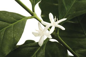 Blüten der Kaffeepflanze (Coffea arabica), Nahaufnahme