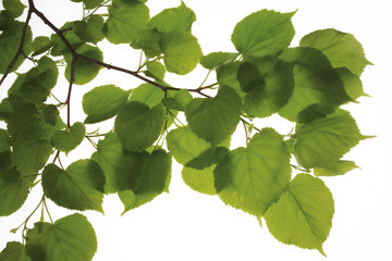 Lime tree leaves, (Tilia), Nahaufnahme