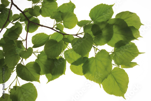 Lime tree leaves, (Tilia), Nahaufnahme