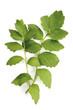 Baldrian, Valeriana officinalis