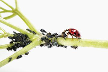 Marienkäfer essen Blattläuse, Nahaufnahme