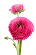 Persian buttercup flowers (ranunculus)