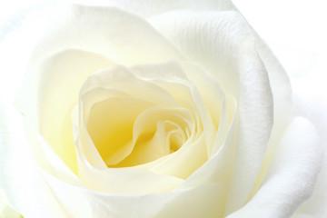 Weiße Rose, Nahaufnahme