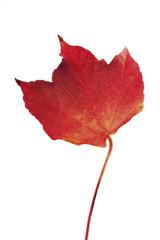 Herbstliche Blätter vom wilden Wein