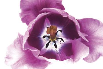 Lila tulpe (Tulipa gesneriana), Nahaufnahme