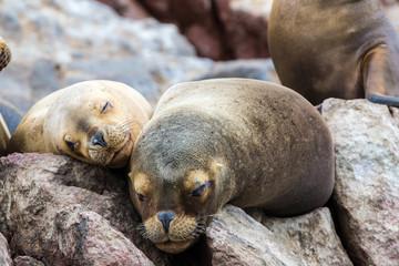 South American Sea lions on Ballestas Islands,Paracas. Peru