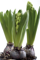 Hyacinth Pflanzen
