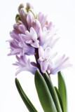 Hyacinthe, close up