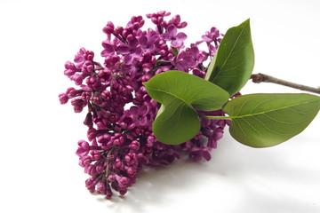 Flieder (Syringa vulgaris)