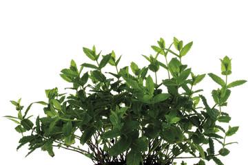 Bündel von Minze (Mentha spicata var.. Crispa), Nahaufnahme
