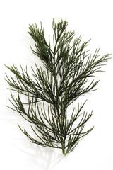 Zweig, Mammutbaum (Sequoioideae), Nahaufnahme