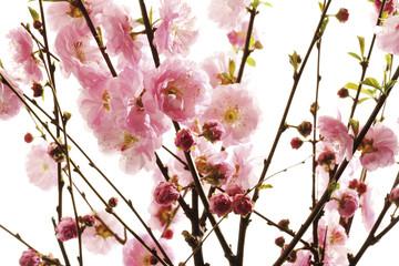 Mandelbaum Zweige mit Blüten (Prunus triloba), Nahaufnahme